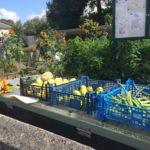 Community Garden Vegetable harvest